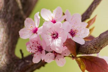 Several flowers of the ornamental plum tree closeup