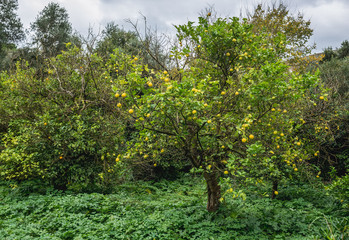 Citrus tree in Neapolis Archaeological Park in Syracuse, Sicily Island of Italy