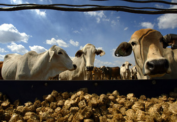 CATTLE STAND NEAR A FEED TROUGH AT A LIVESTOCK EXPORT YARD IN NOONAMAH.