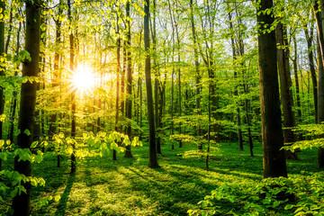 Fototapete - Wald im Frühling mit Sonne, die durch die Bäume scheint