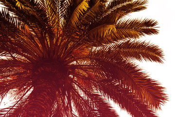 Foto op Canvas Aan het plafond Beautiful Palm with Light Beam Sunny Day. Toning. Vacation Concept. View from Down.