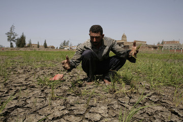 An Egyptian rice farmer shows his drought damaged rice crop and cracks in the rice terrace soil caused by more than 30 days of no rain in a village near Balqis