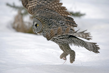 Great Grey Owl hunting in winter, taking off with mouse prey in claws.