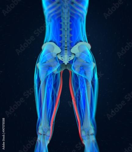 Gracilis Muscle. Female muscle anatomy. 3d illustration\