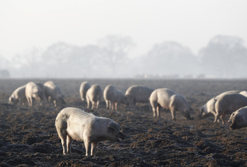 Pigs are seen grazing in a farmers field in Norfolk, England