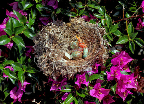 Nest with Northern mockingbird chicks