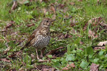 Song thrush (Turdus philomelos)  froze among the young green grass in spring