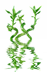 Lucky Bamboo (Dracaena Sanderiana) reflected in a water