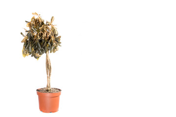 Dying plant in a pot