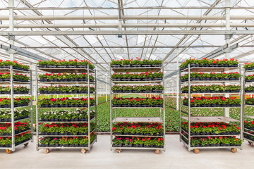 Crates with Dutch geranium plants ready for export