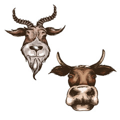 the head goat and cow