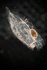 Ctenophora (zooplankton) under the microscope.