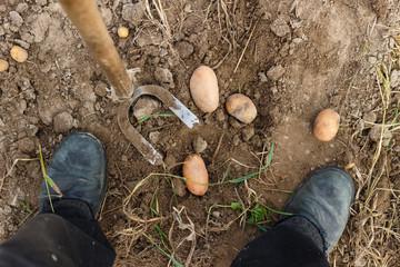 Собирать урожай картошки