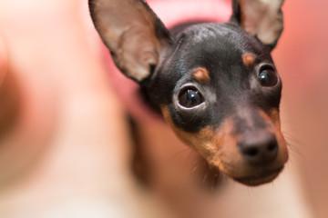 不思議そうに見上げるミニチュアピンシャー。黒い犬クローズアップ:ペットの日常