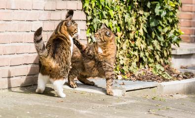 Raufende Katzen