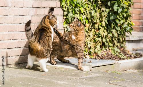 Raufende katzen immagini e fotografie royalty free su for Allontanare i gatti