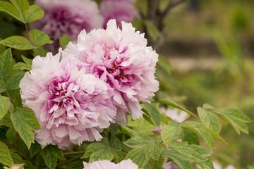 Paeonia Arboera, Paeoniaceae flower blossom, close up