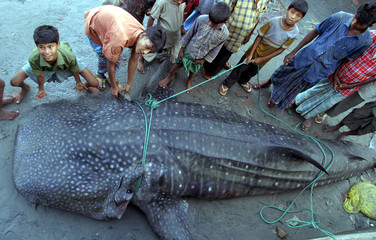 Bangladeshis look at a whale shark caught in the Bay of Bengal at the Cox's Bazaar fishing harbour.