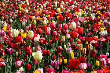 Ein blühendes Tulpenbeet
