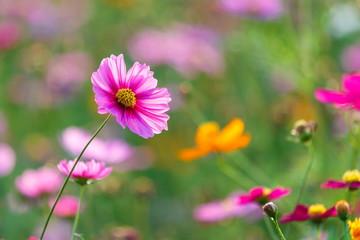 Cosmos flower meadows,Cosmos,flowers cosmos of Singha Park Chiang Rai,Chiang Rai, Thailand.