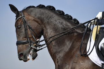 Close up on a bay horse head during a dressage competition