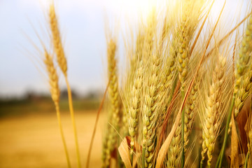 close up photo of wheat field