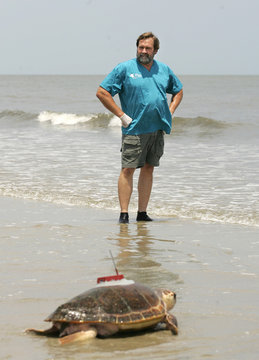 Georgia Sea Turtle Center Director of Veterinary Services Dr. Terry Norton watches as his patient a loggerhead sea turtle named Golden Boy returns to the sea with a satellite telemetry transmitter after being rehabilitated  on Jekyll Island.