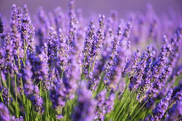 Lavender nature background, purple flowering field in Provence, Plateau de Valensole, France. Selective focus
