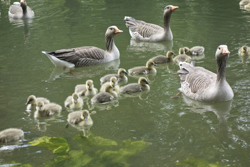 Family of Geese on Pond