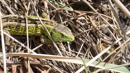 a large green lizard