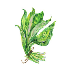 Painting ramson. Hand drawn isolated fresh greenery. Watercolor vegetarian illustration on white background