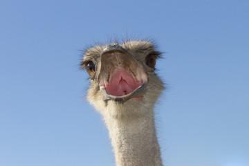 The head of an ostrich