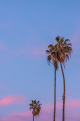 Tall thin three palm trees in California with purple pink sunset sky in background
