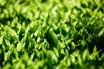 Wall Mural - Fresh green spring grass, morning light.