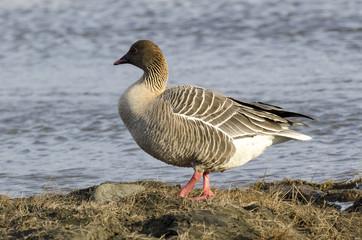 Oie à bec court, .Anser brachyrhynchus, Pink footed Goose, Spitzberg, Svalbard, Norvège