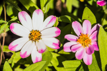 Macro closeup of white and pink daisy flowers in colorful garden