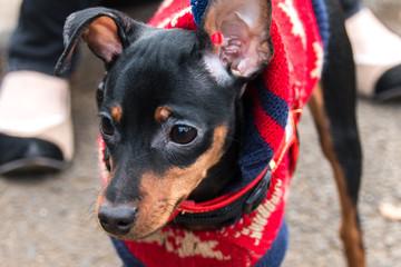 悲しそうな表情のミニチュアピンシャー 。散歩中の服を着た黒い犬クローズアップ:ペットの日常