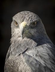 Black-chested buzzard-eagle or Geranoaetus melanoleucus
