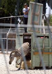 Palestinian zoo keeper watches as a zebra is released in Qalqilya