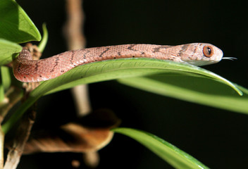 A newly born African Egg-eater slithers onto a leaf of a tree in its terrarium at the zoo of Zurich