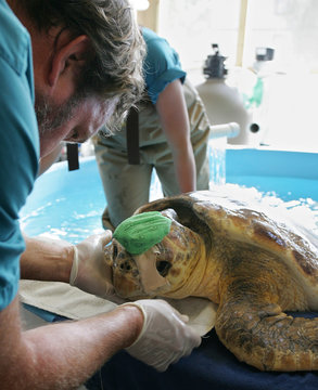 Georgia Sea Turtle Center Director of Veterinary Services Dr. Terry Norton looks over loggerhead sea turtle named Nick who wears a head bandage at the Georgia Sea Turtle Center on Jekyll Island.