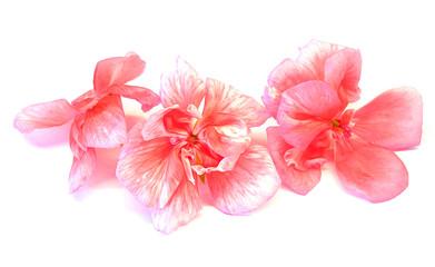 oil draw geranium perspective, paint fresh delicate flowers and petals of pelargonium, isolated
