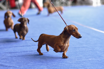 Dachshunds on the dog show