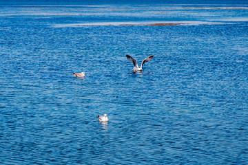 Mouettes sur la lagune d'Orbetello en Toscane
