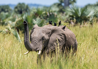 Wall Mural - Еlephant walks along the grass with a bird on its back in the Merchinson Falls National Park. Africa. Uganda. An excellent illustration.