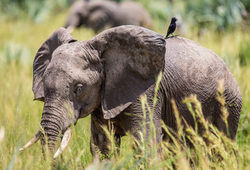 Еlephant walks along the grass with a bird on its back in the Merchinson Falls National Park. Africa. Uganda. An excellent illustration.