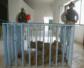 AMERICAN SOLDIERS WATCH AS CHEETAHS AWAIT NEW HOME AT BAGHDAD ZOO.