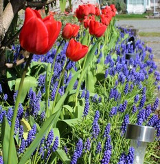Red tulips with muscari in a spring garden