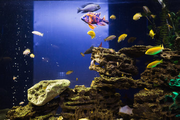 Colored fish swimming in an aquarium. Sea creatures. Abstract background