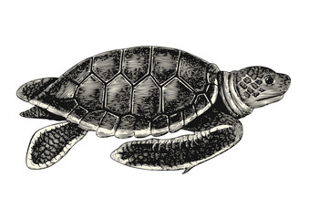 vintage vector animal drawing: retro illustration of a sea turtle